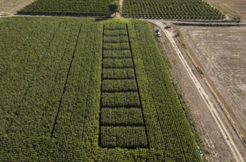 Aplicación en el cultivo de maíz del nuevo decreto que regula el uso de nitrógeno en Cataluña