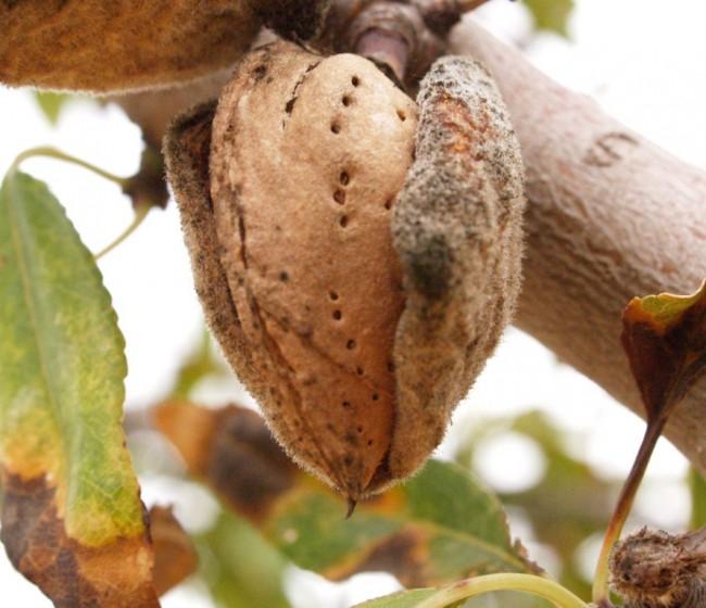 Los frutos secos representan ya el 30% el total de la superficie en ecológico de cultivos permanentes