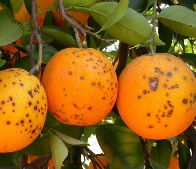 El sector citrícola acusa a Sudáfrica de mentir nuevamente para evitar el tratamiento de frío a sus exportaciones