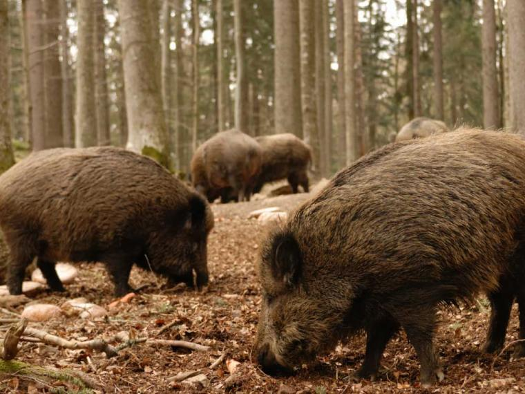 Alemania supera ya la treintena de focos de PPA en jabalíes silvestres en la región de Brandemburgo