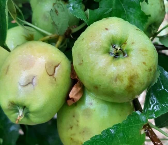 Agroseguro eleva ya las indemnizaciones de frutales a cerca de 130 M€, fundamentalmente por pedrisco