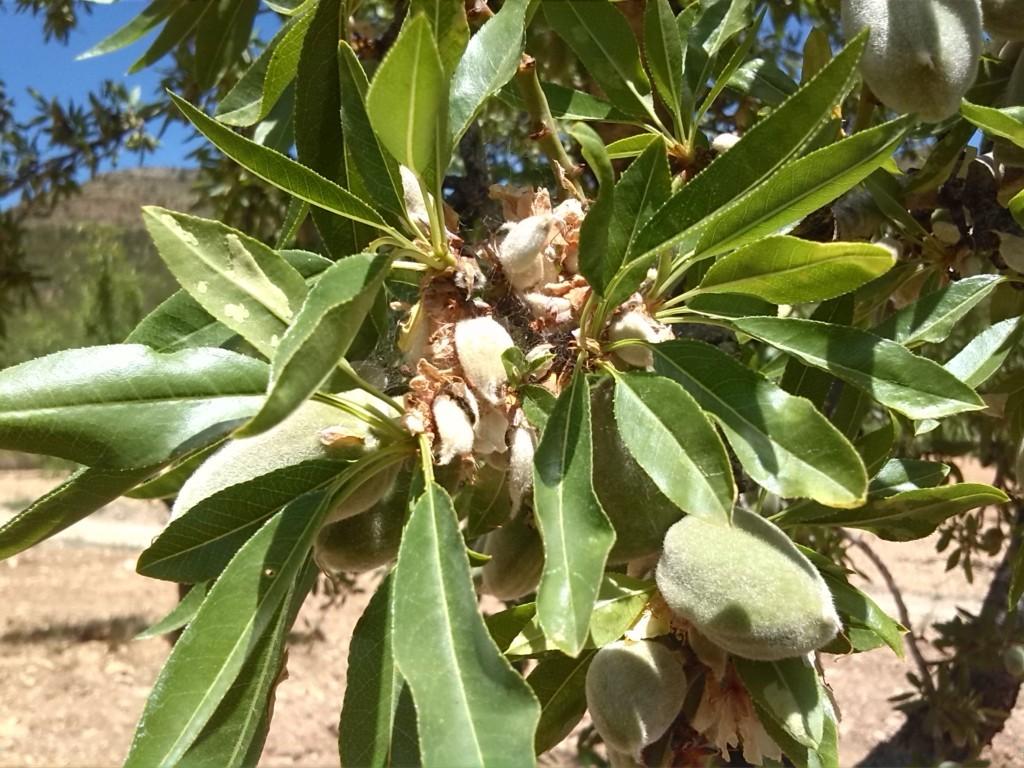 Las indemnizaciones por siniestros en frutos secos alcanzan casi 5,5 M€