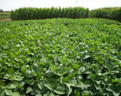 Guía de cultivo de la producción extensiva de soja en regadío (I)