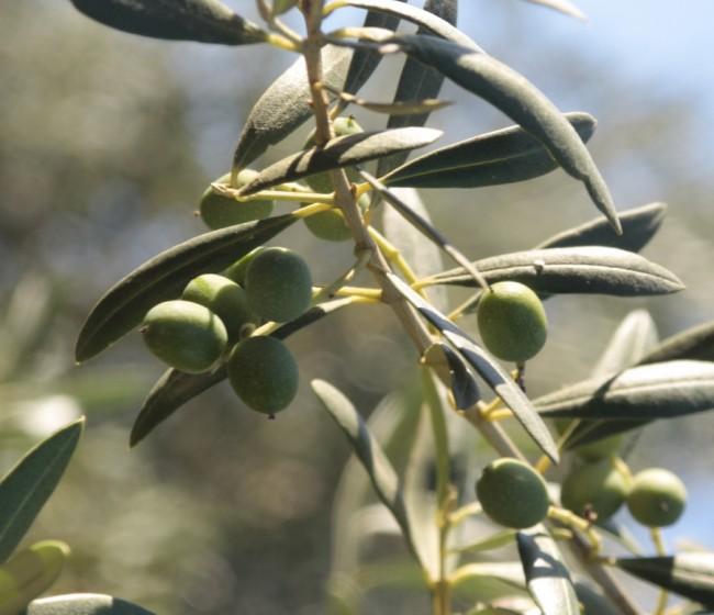 Interaceituna estima que la cosecha de verdeable será inferior al medio millón de toneladas en 2020/21
