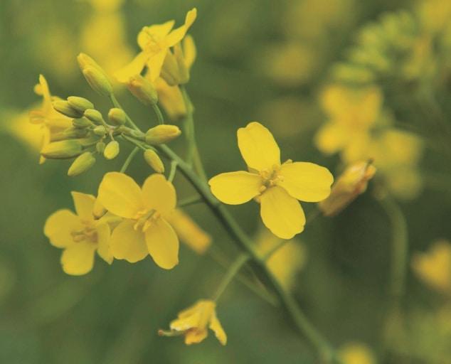 Belkar, el nuevo herbicida post-emergencia para colza de invierno de Corteva