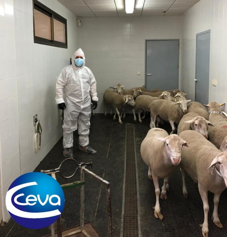 Ceva muestra su protocolo preventivo frente al covid-19