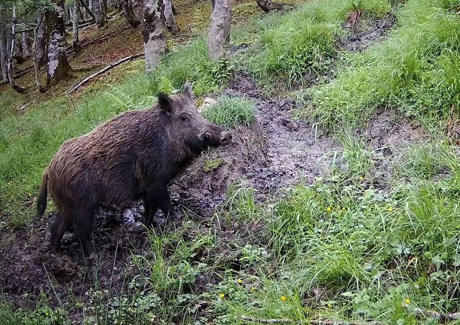 Alemania adopta medidas más estrictas de control ante los nuevos focos de Peste Porcina Africana