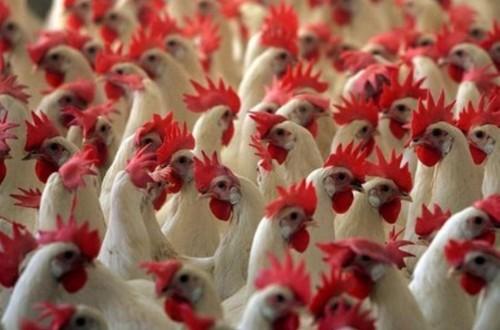 La gripe aviar sigue aumentando su circulación por el Norte de Europa