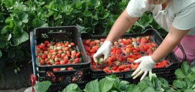 Comportamiento agronómico de doce variedades de fresa en tres sistemas de cultivo
