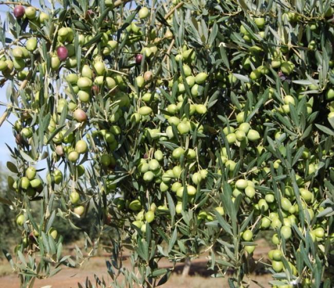 Efecto de la fertilización sobre la producción del olivar