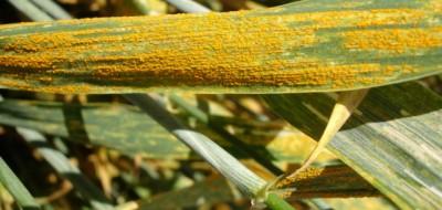 Situación actual de la sanidad de los cereales de invierno (I)
