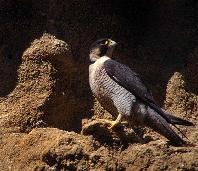 Se confirma primer caso de gripe aviar en España en un halcón peregrino en Noja (Cantabria)