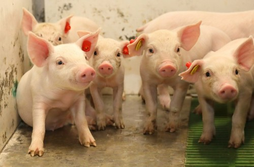 Icpor obtiene un 'excelente' para sus granjas según la certificación IAWS