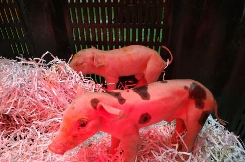 Nuevos virus causantes de diarrea en el cerdo