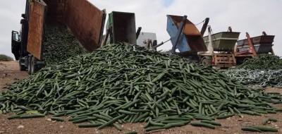 Acuerdo sectorial para retirar un 30% de la producción comercializable de pepino de Almería y Granada