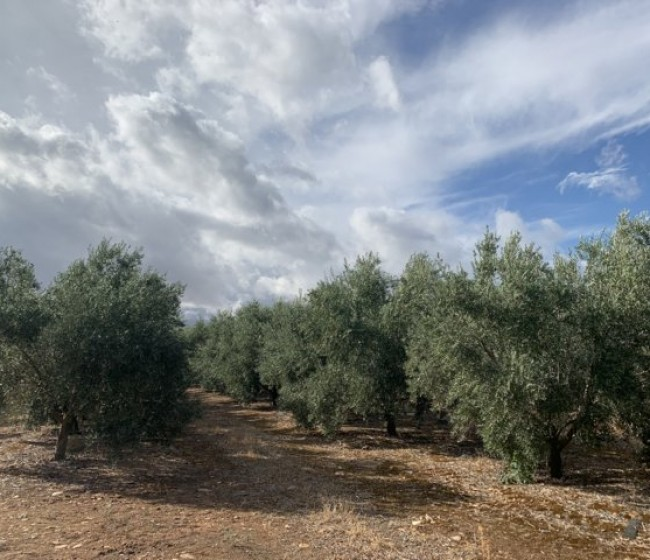 Actualidad de los métodos de control fitosanitario en el olivo