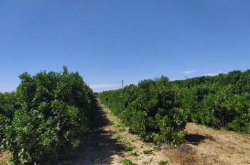 Comportamiento agronómico de Valencia Delta Seedless sobre dos patrones de cítricos