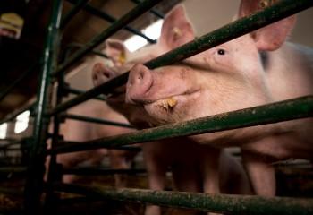 Producción porcina y gases de efecto invernadero