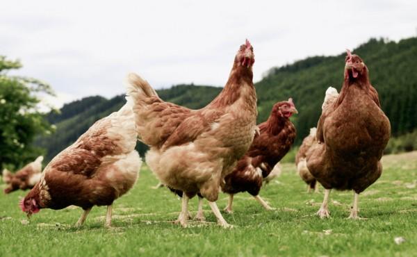 Detectados nuevos focos de gripe aviar altamente patógena en Francia, Bélgica y Suecia