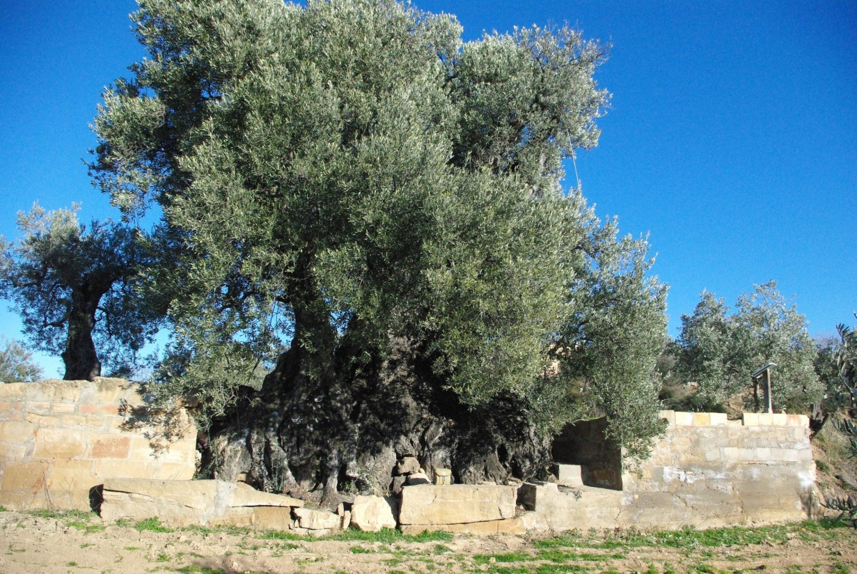 AEMO aboga por unos precios dignos del aceite de oliva ante una campaña equilibrada