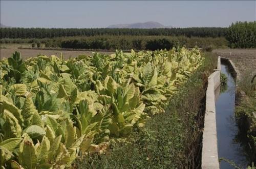 El sector tabaquero extremeño paralizará las entregas a las industrias