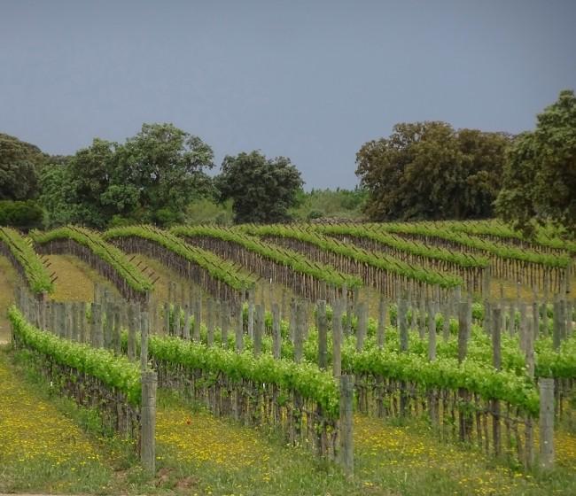 El MAPA plantea limitar a solo 945 ha las autorizaciones de nueva plantación de viñedo en 2021