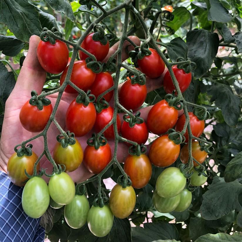 Basf presenta su primera variedad con resistencia intermedia al virus rugoso del tomate