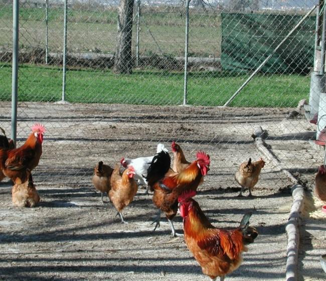 El IRTA detecta que pollos y gansos tienen más riesgo de infectarse con el virus H5N8 de gripe aviar