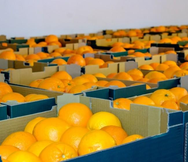 AVA-ASAJA denuncia incumplimientos unilaterales en los contratos de compraventa de cítricos en campo