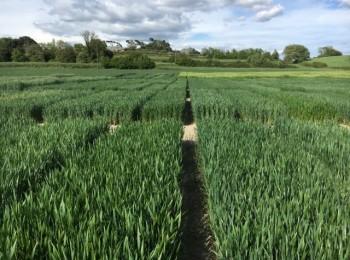 Nuevas variedades comerciales de cebada y trigo blando de invierno y centeno híbrido