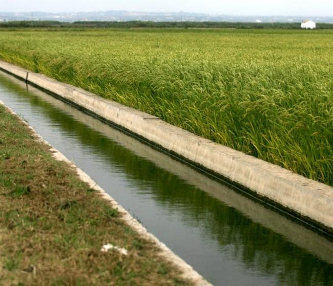 Cooperativas estima una producción de 747.134 t de arroz en España en 2020/21