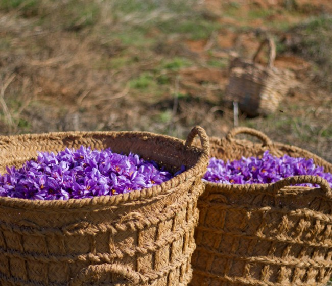 La DOP Azafrán de la Mancha cierra una campaña con menos producto pero muy buena calidad