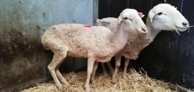 Anaplasmosis ovina en España