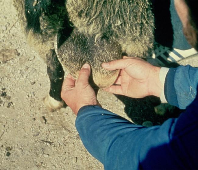 Brucelosis ovina: reemergencia de Brucella ovis tras erradicar Brucella melitensis