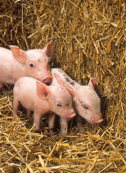 Tonisity Total ayuda a maximizar el potencial de crecimiento del cerdo