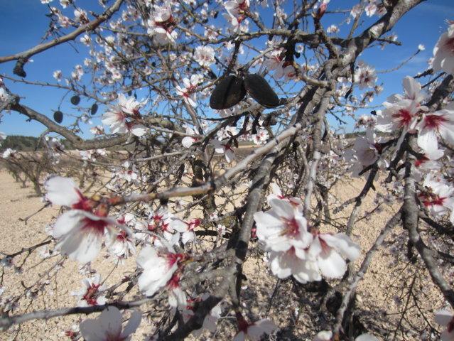 La avispilla del almendro, una nueva preocupación para los productores de almendra