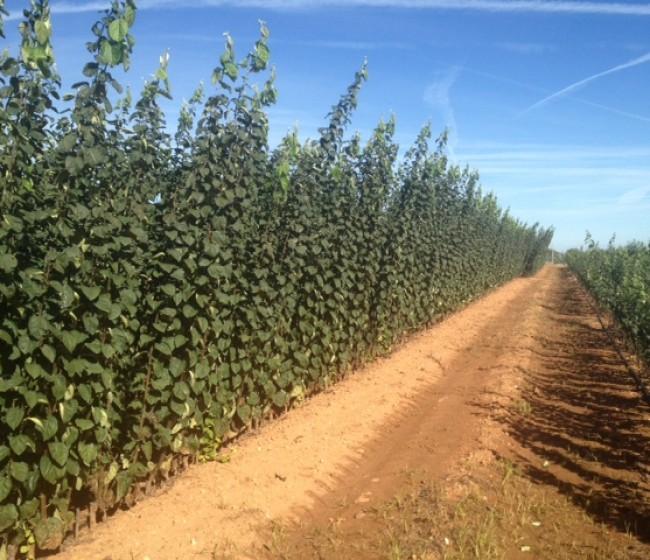 Vivero de membrillo, una nueva visión del formato de plantación basado en el microinjerto