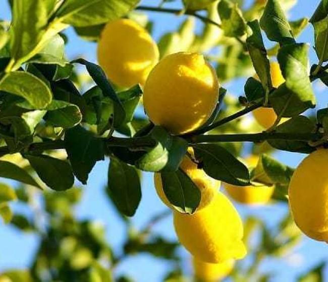 Ailimpo confirma una cosecha de casi 1,3 millones de toneladas de limón