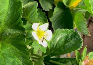 Koppert frena al pulgón en la fresa de Huelva con una mosca autóctona