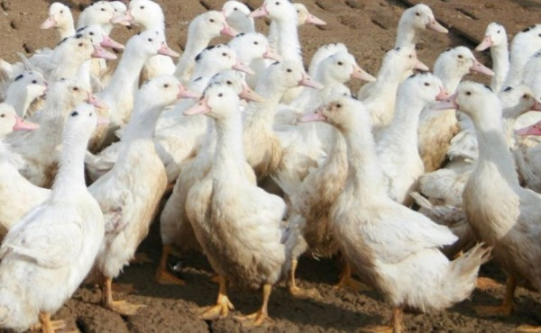 La gripe aviar continúa su expansión en Europa y sobre todo en el Suroste francés