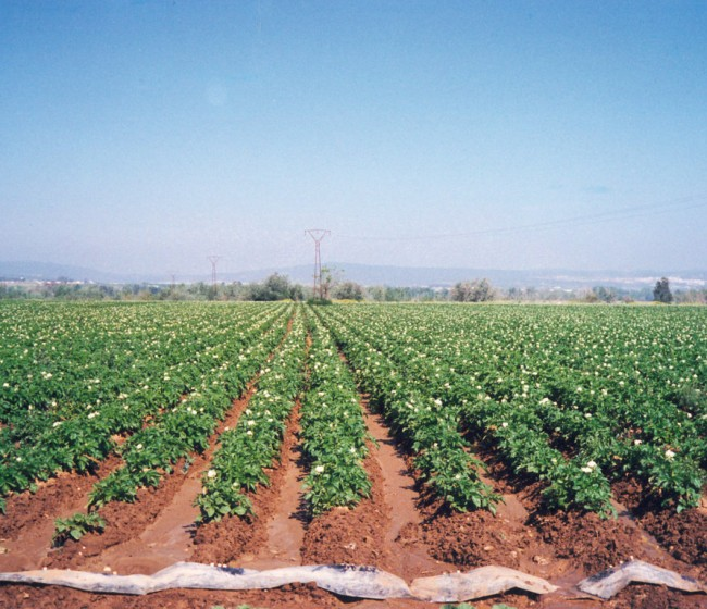 Campaña 2021 de la patata: FEPEX prevé significativos descensos en las superficies de cultivo