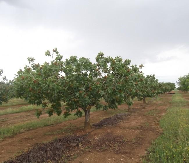 Experiencias del Itap en el cultivo del pistachero