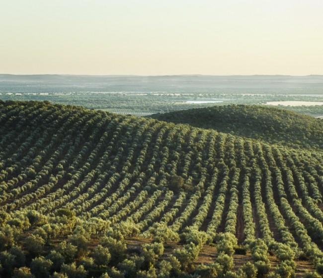 Bruselas suma casi 1,7 Mt de aceite de oliva en la UE hasta final de enero y recorta previsiones en 2020/21