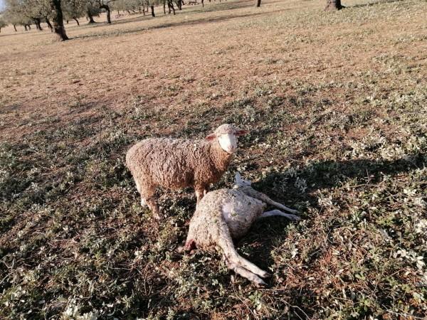 Las OPAs exigen también al Miterd retirar la OM que declara al lobo especie especialmente protegida