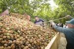 FEPEX denuncia la comercialización de nueces importadas como si fueran de origen nacional
