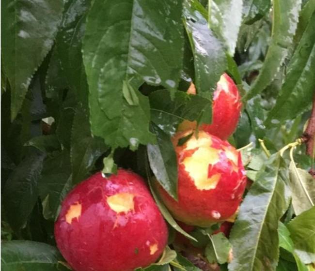 Agroseguro abonó 132,4 M€ por siniestros en frutales el pasado año