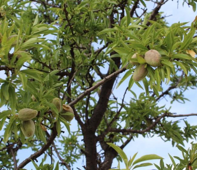 Condena por explotar una variedad vegetal protegida de almendro