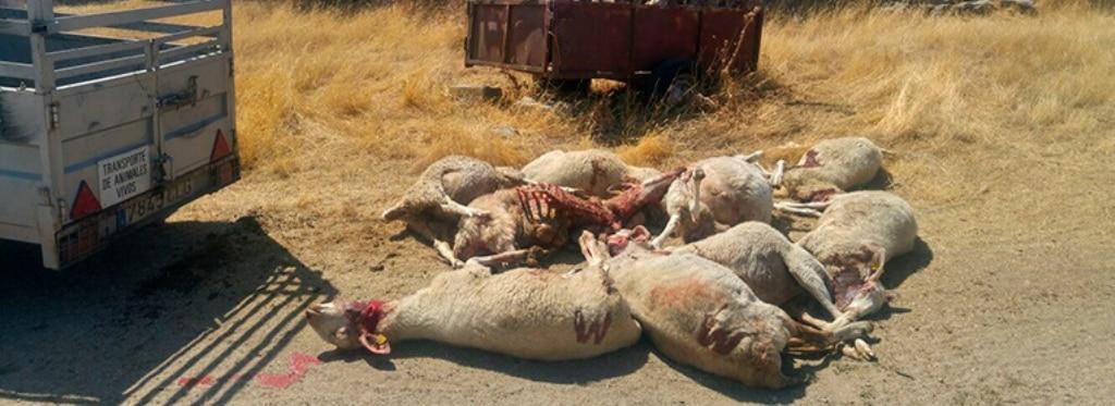 Tajante oposición autonómica y ganadera a la inclusión del lobo en el Listado de Especies de Protección Especial