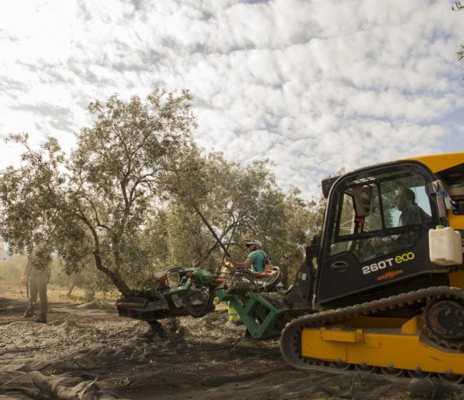 Las salidas de aceite de oliva al mercado superan ya las 550.000 t hasta finales de enero