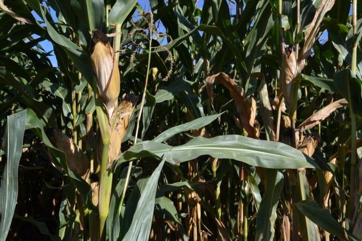Consideraciones sobre el abonado nitrogenado del maíz en el valle del Guadalquivir
